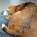 Terapi Akupunktur Hewan di Bali